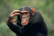 A chimpanzee