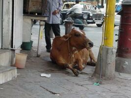 Sacred cow in Indian street
