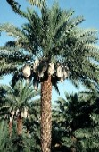 Date palm with clusters of fruits  pre-packed into the special sacks