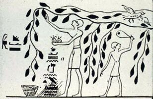 Harvesting pomegranates