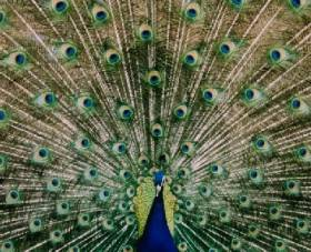 Peacock with his tail spread at breeding season