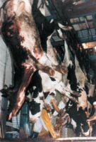 Inside a slaughterhouse